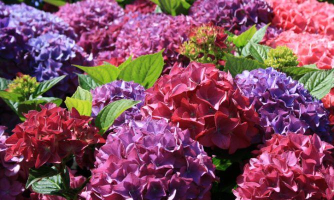 La Importancia Del Ph Del Suelo Momentos Piscina Blog - Color-de-las-hortensias